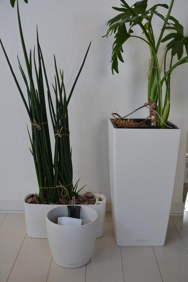 観葉植物 植え替え前