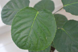 【観葉植物】丸い葉っぱがカワイイ ポリシャス・フリスビーが仲間入り♪